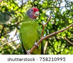 Small photo of Extinction threatened parrot with a purple face, known as Red-Tailed Parrot (Amazona Brasiliensis), on a natural background.