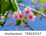 Wild Himalayan Cherry   Pink...