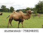 bactrian camel at cotswold... | Shutterstock . vector #758248351