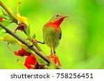 crimson sunbird  on branch | Shutterstock . vector #758256451