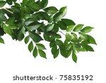 branch of china box tree... | Shutterstock . vector #75835192