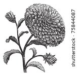 double china aster or... | Shutterstock .eps vector #75844087