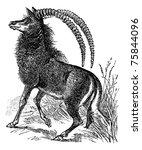 sable antelope  aigocerus niger ... | Shutterstock . vector #75844096