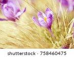 beautiful violet crocus flower... | Shutterstock . vector #758460475