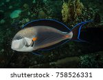 Small photo of The sohal surgeonfish or sohal tang, Acanthurus sohal