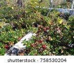 wild lingonberries growing... | Shutterstock . vector #758530204
