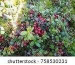vaccinium vitis idaea ... | Shutterstock . vector #758530231