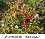 lingonberry in the forest | Shutterstock . vector #758530234