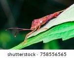 Small photo of Stink, Florida Leaf-footed Bug (Arthropoda: Insecta: Hemiptera: Heteroptera: Pentatomomorpha: Coreidae: Acanthocephala Femorata) posing and sitting on a green leaf and isolated with black background