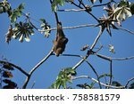 Small photo of Three-fingered sloth, hanging from a tree in a jungle in Central America. Panama.