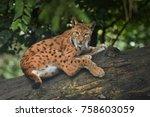 euroasian lynx in the bavarian...   Shutterstock . vector #758603059