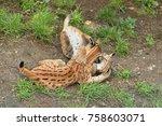 euroasian lynx in the bavarian...   Shutterstock . vector #758603071