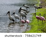 Wood Storks And Spoonbills In...