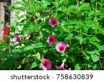 Small photo of Allamanda blanchetii Half bush The young leaves are covered with leaves around the flowers, a bouquet of petals,magenta or yellow.The base of the petals is dark purple.Or yellow as an ornamental plant