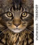 Small photo of Close-up of Maine Coon's face with whiskers, 7 months old