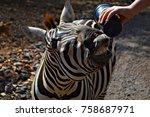 hand feeding a zebra | Shutterstock . vector #758687971