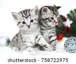 Stock photo two kitten thoroughbred in christmas scottish british kittens are striped 758722975