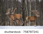 Three Mixed Age Red Deer In Th...