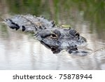 An Alligator Surfaces At Upper...