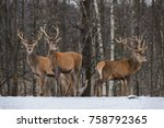 three great red deer   cervus...   Shutterstock . vector #758792365