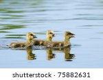 greylag goose goslings on water | Shutterstock . vector #75882631