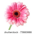 Pink gerbera flower on stem. Isolated on white - stock photo
