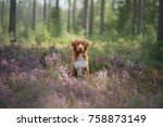a dog in heather flowers  in... | Shutterstock . vector #758873149