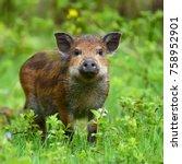 wild boar on the forest in...   Shutterstock . vector #758952901