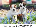 two white puppy jack russell... | Shutterstock . vector #758978995