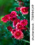 red chrysanthemum flowers... | Shutterstock . vector #758984149