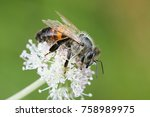 western honey bee  apis... | Shutterstock . vector #758989975