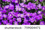 purple spring flowers on a rock ... | Shutterstock . vector #759004471
