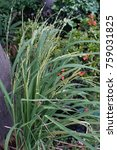 Small photo of Grasses occur in the garden.