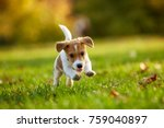 Dog Breed Jack Russell Terrier...