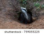 badger emerging from the badger ... | Shutterstock . vector #759055225