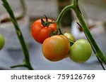 a tomato is a nutrient dense... | Shutterstock . vector #759126769