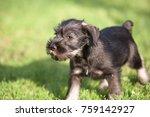 mittelschnauzer puppy. mittel... | Shutterstock . vector #759142927