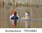 Red Crested Pochard  Netta...