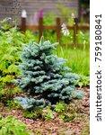 picea pungens glauca globosa in ... | Shutterstock . vector #759180841