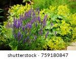 veronica spikelet planted in... | Shutterstock . vector #759180847