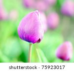 colorful tulips from Holland - stock photo