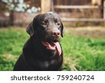 a dog  a labrador  a dog sticks ... | Shutterstock . vector #759240724