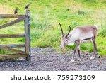 travel to iceland   reindeer in ... | Shutterstock . vector #759273109