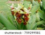 chocolate curcuma  siam tulip | Shutterstock . vector #759299581