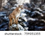 portrait of a cougar  mountain... | Shutterstock . vector #759351355