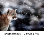 portrait of a cougar  mountain... | Shutterstock . vector #759361741