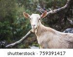Portrait Young Female Goat