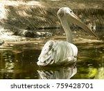 great white pelican  | Shutterstock . vector #759428701