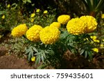 yellow marigold flower in garden | Shutterstock . vector #759435601
