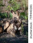 Small photo of A vertical photograph of a wild dog, Lycaon pictus, resting in the sun and staring off to one side in the Khwai concession in Botswana.